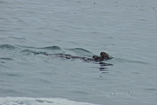 sea otter 0001 4 Mile Beach, CA, USA