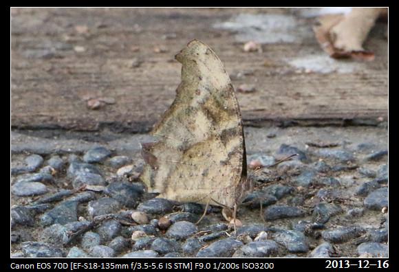 20131216_butterfly2