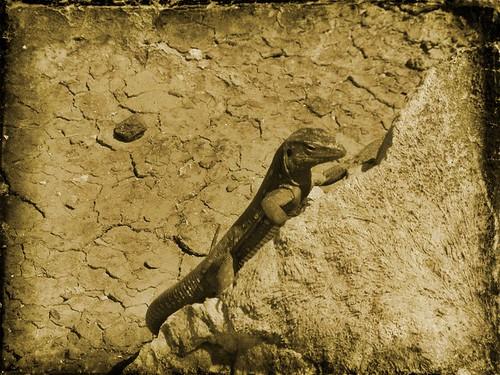 Bonaire lizard by BeFunky.com