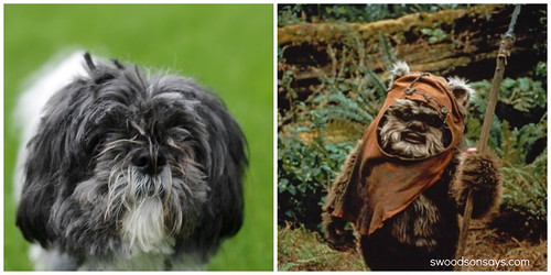 Shih Tzu & Ewok Comparison - Swoodson Says