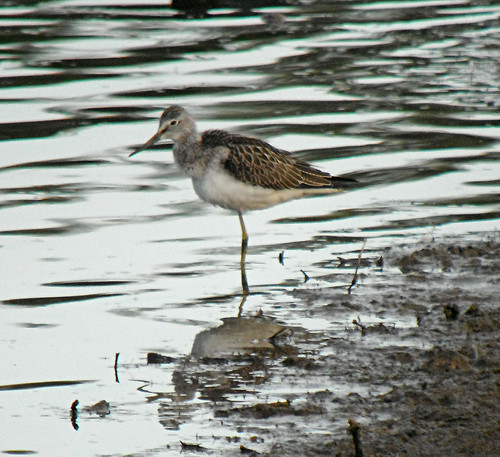 Greenshank Tringa nebularia Tophill Low NR, East Yorkshire August 2013