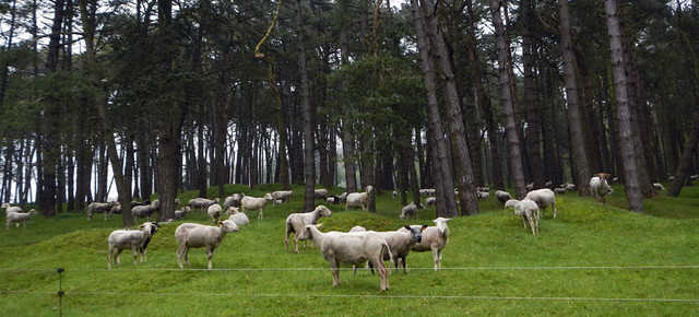 sheep at Vimy Ridge