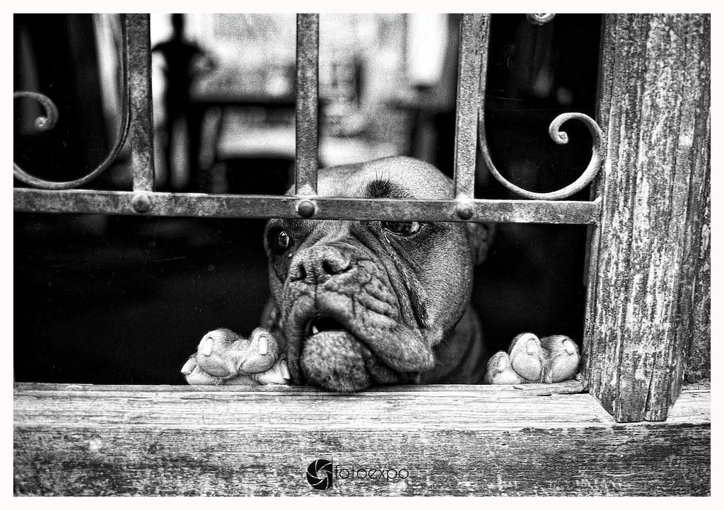 Foto gratis de un perro boxer en una ventana en blanco y negro