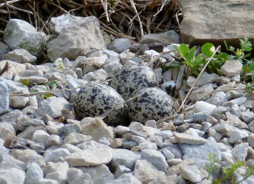 Three killdeer eggs