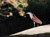 Nankeen Night Heron 1C0A2864