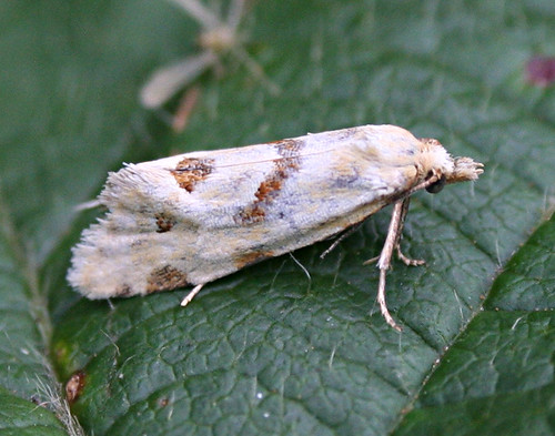 Aethes smeathmanniana Tophill Low NR, East Yorkshire August 2013