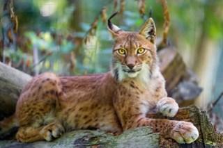 Posing siberian lynx