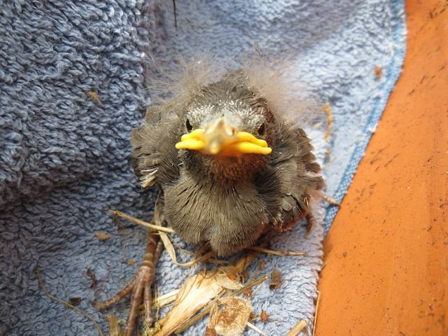 baby starling or Mr. Grumpyfeathers