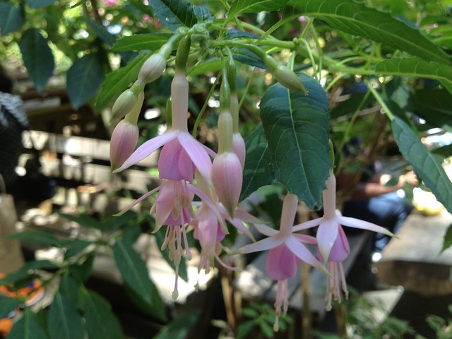Pale pink Fuschia flowers