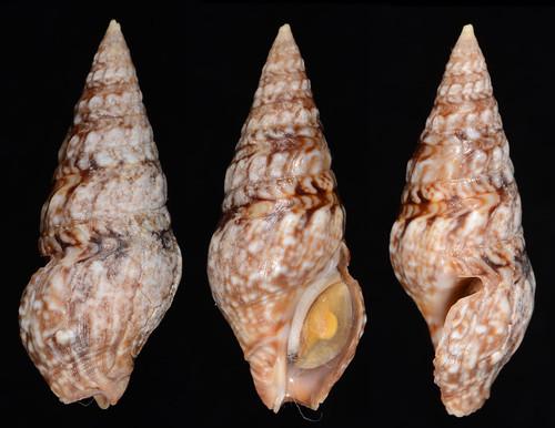 Clavatula tripartita 26.73mm by leechitse