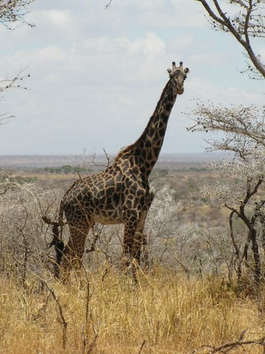Giraffe at Manyara Ranch
