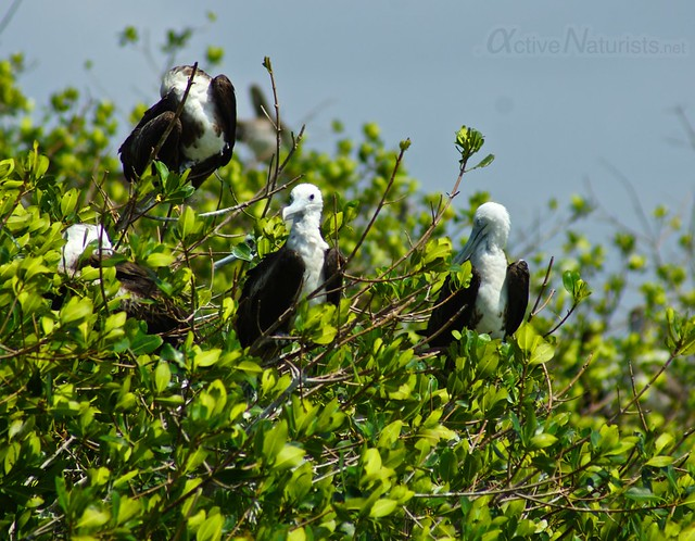 frigatebird 0000 mangroves, Progreso, Yucatan, Mexico