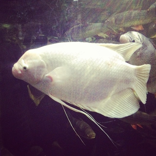 Giant Albino Gurami