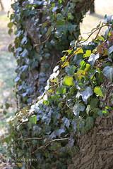 20140226-IMG_6810(ツタのからまる梅の木の根元)
