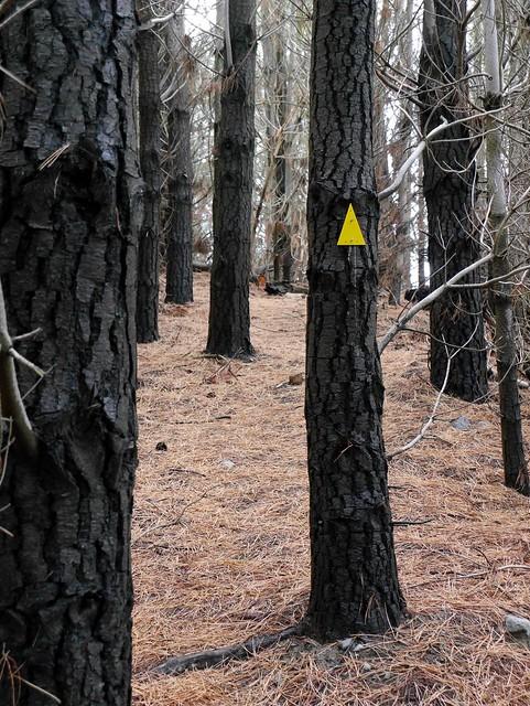 Frozen Pines