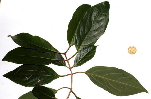 Gmelina fasciculiflora DSC_0021