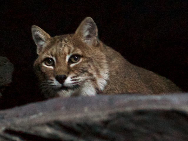 The Bobcat is Awake!