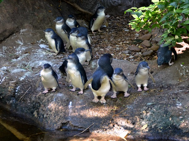 Mob of Penguins