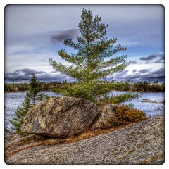 #tree on the shore of Susie's Lake #Halifax behind #bayerslake business park.