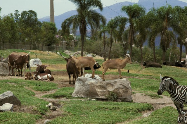 Goats, Oxen, Zebras and more