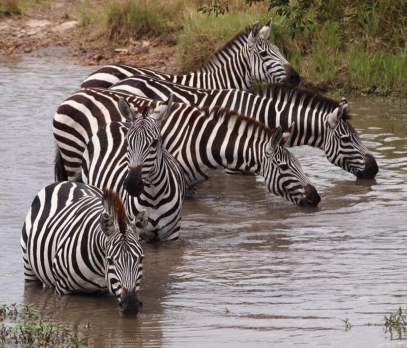 Zebras drinking in Masai Mara