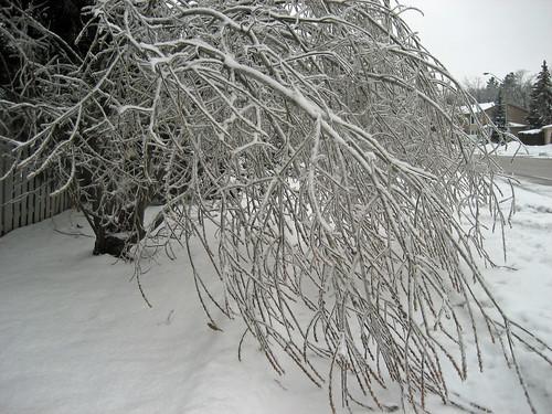 Ice Storm 2013 willow tree