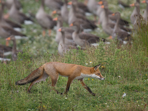Fox - summer stroll