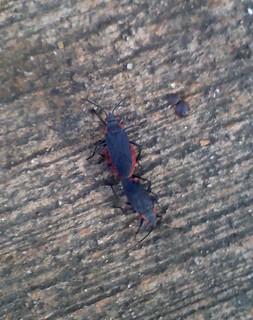 Western Box Elder Bugs