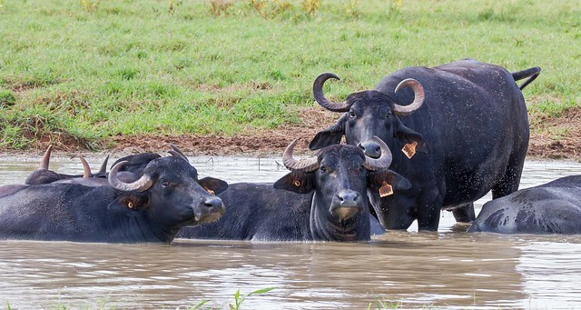 Asian Water Buffalo.01