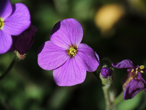 violetita
