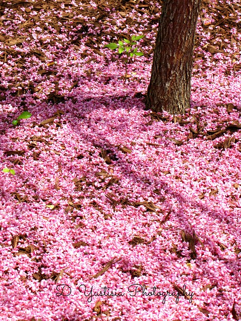 Scattered Petals (Eastern Redbud)