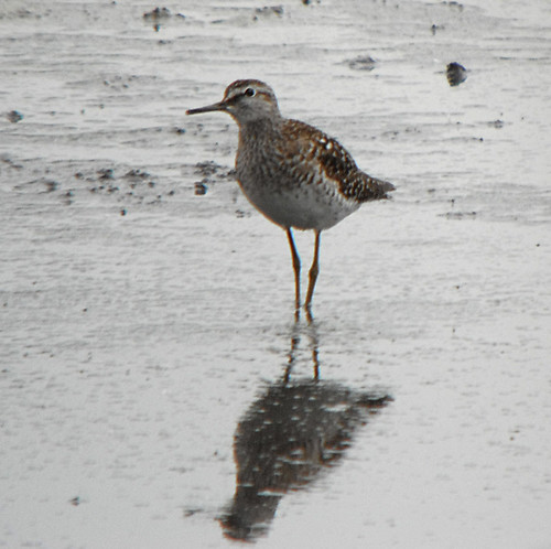 Wood Sandpiper Tringa glareola Tophill Low, East Yorkshire May 2013