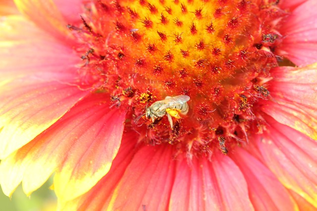 Tiny bee on gaillardia