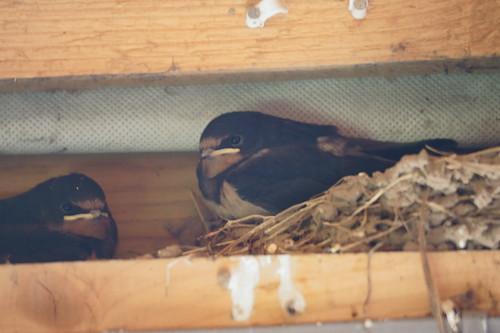 Swallows (Hirundo rustica) on nest