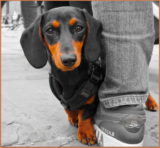 Dachshund  Flickr  Photo Sharing
