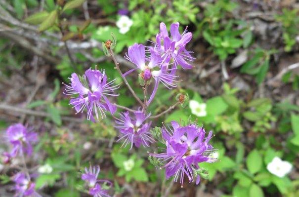 Zealand Falls Flower