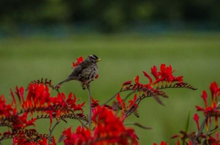 Crocosmia with bird