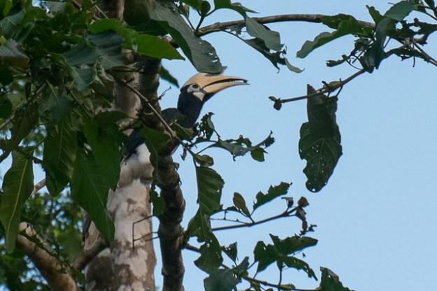 Pied oriental hornbill