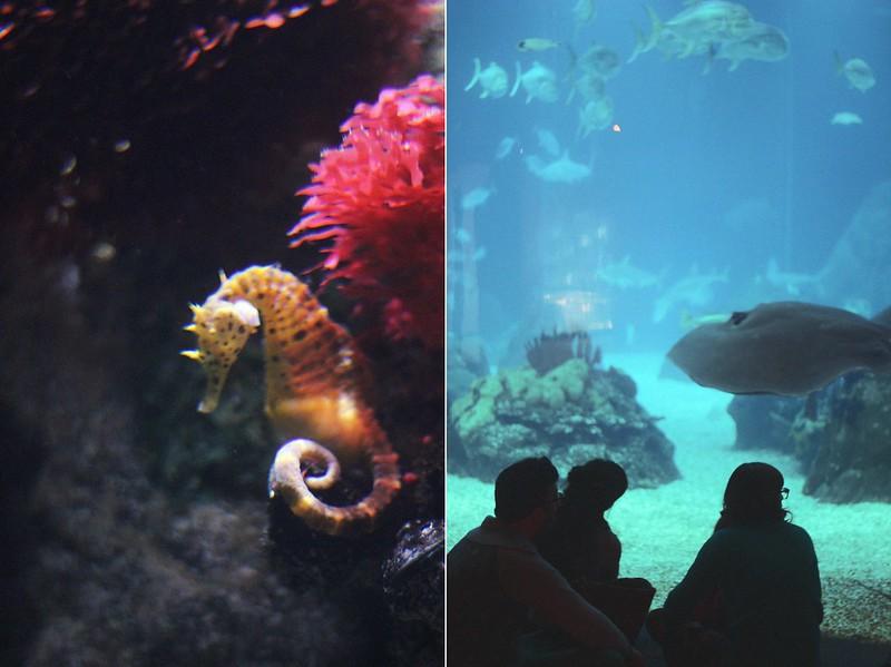 seahorse + aquarium watching