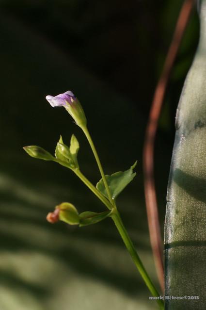 Tiny flower weed macro
