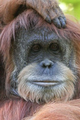 Photo of an Orangutan