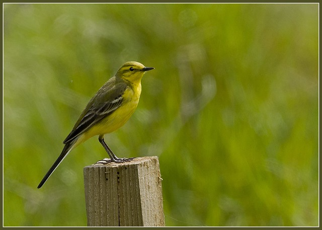 Yellow Wagtail Wallasea