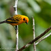 Golden Tanager (Tangara arthus) 1