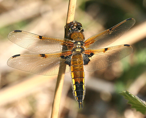 Four-spotted Chaser Libellula quadrimaculata Leven Canal, East Yorkshire June 2013