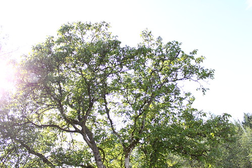 The walnut tree that started it all