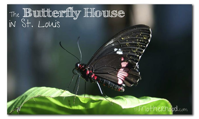 Butterfly House Black Butterfly