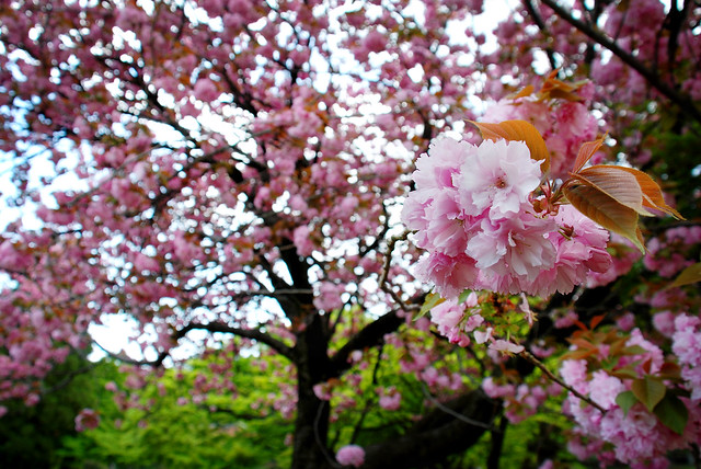 Tokyo Photography of a Blossom Tree, by Pixelglo Photography