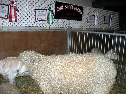 Lincoln Longwool sheep at Royal Agricultural Winter Fair