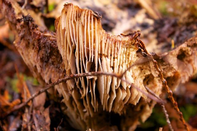 Decaying Mushroom Side View