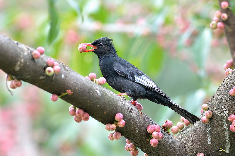 紅嘴黑鵯.Black Bulbul – alder-birds